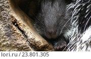 Купить «crested porcupine (Hystrix cristata)», видеоролик № 23801305, снято 29 июня 2016 г. (c) BestPhotoStudio / Фотобанк Лори