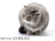 Купить «Портрет злого кота породы Шотландский Вислоухий на белом фоне», фото № 23803053, снято 12 декабря 2017 г. (c) Olesya Tseytlin / Фотобанк Лори