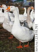Белые домашние гуси. Стоковое фото, фотограф Вероника / Фотобанк Лори