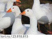 Домашние гуси. Стоковое фото, фотограф Вероника / Фотобанк Лори