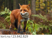 Купить «Лиса в осеннем лесу», эксклюзивное фото № 23842829, снято 15 октября 2016 г. (c) Роман Рожков / Фотобанк Лори