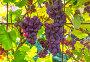 "Розовый виноград сорта ""Лидия"" спеет на лозе, фото № 23873833, снято 12 сентября 2016 г. (c) Дудакова / Фотобанк Лори"