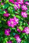 Сиреневые цветы Клематиса (Clematis). Вертикальное озеленение на даче, фото № 23873885, снято 24 июня 2015 г. (c) Евгений Мухортов / Фотобанк Лори