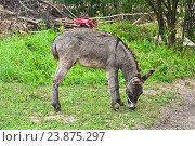 Купить «Домашний осёл (Equus asinus)», эксклюзивное фото № 23875297, снято 15 июля 2016 г. (c) Алёшина Оксана / Фотобанк Лори