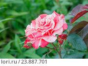 Купить «Пёстрая роза», фото № 23887701, снято 2 июля 2016 г. (c) Краснова Ирина / Фотобанк Лори
