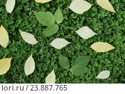 Жёлтые и зелёные листья на траве. Стоковое фото, фотограф Юрий Елисеев / Фотобанк Лори
