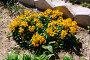 """Желтушник Перовского """"Gold Shot"""" на садовой грядке, фото № 23888041, снято 23 апреля 2016 г. (c) Зацепилова Наталья / Фотобанк Лори"""