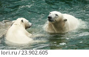 Купить «Polar bears swims and dives», видеоролик № 23902605, снято 13 октября 2016 г. (c) Игорь Жоров / Фотобанк Лори