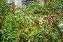Вишня (Prunus cerasus), эксклюзивное фото № 23902797, снято 3 июля 2015 г. (c) Алёшина Оксана / Фотобанк Лори