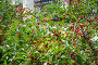 Вишня (Prunus cerasus), фото № 23902797, снято 3 июля 2015 г. (c) Алёшина Оксана / Фотобанк Лори