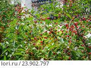 Купить «Вишня (Prunus cerasus)», эксклюзивное фото № 23902797, снято 3 июля 2015 г. (c) Алёшина Оксана / Фотобанк Лори