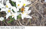 Шмель опыляет белые цветки. Стоковое видео, видеограф Кузьмов Пётр / Фотобанк Лори