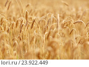 Купить «cereal field with spikelets of ripe rye or wheat», фото № 23922449, снято 31 июля 2016 г. (c) Syda Productions / Фотобанк Лори