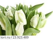 Букет белых тюльпанов. Стоковое фото, фотограф Allika / Фотобанк Лори