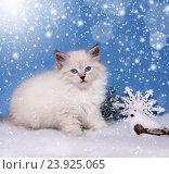 Купить «Сибирский котенок, новогодняя тема для открытки», фото № 23925065, снято 17 января 2016 г. (c) ElenArt / Фотобанк Лори