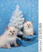 Купить «Сибирский котенок, новогодняя тема для открытки», фото № 23925069, снято 10 января 2016 г. (c) ElenArt / Фотобанк Лори