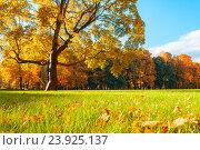 Купить «Осенний парк в солнечную погоду - красочный осенний пейзаж с красивым золотистым кленом и опавшими листьями», фото № 23925137, снято 3 октября 2016 г. (c) Зезелина Марина / Фотобанк Лори