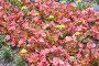Пеларгония розового цвета на клумбе, фото № 23958177, снято 13 июня 2016 г. (c) Никита Ковалёв / Фотобанк Лори