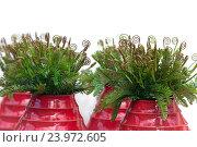 Купить «Curly leaves of fern in red ceramic vases», фото № 23972605, снято 6 сентября 2016 г. (c) Татьяна Белова / Фотобанк Лори