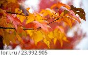 Красочные кленовые листья, осенний фон. Стоковое фото, фотограф Koba Samurkasov / Фотобанк Лори