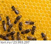 Рабочие пчелы на медовых сотах. Стоковое фото, фотограф Олег Жуков / Фотобанк Лори