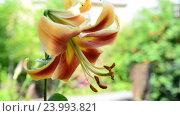 Купить «Large orange-quality lily in the garden», видеоролик № 23993821, снято 24 июля 2016 г. (c) Володина Ольга / Фотобанк Лори