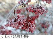 Купить «Калина красная в инее», фото № 24081489, снято 2 ноября 2016 г. (c) Юлия Мальцева / Фотобанк Лори