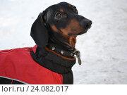 Черная собака такса на снегу. Стоковое фото, фотограф Ирина Мещерякова / Фотобанк Лори