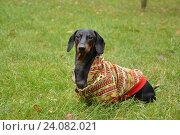 Черная собака в цветной кофте такса Dachshund на зеленом фоне (2013 год). Редакционное фото, фотограф Ирина Мещерякова / Фотобанк Лори