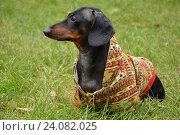 Собака в кофте на зеленом фоне (2013 год). Редакционное фото, фотограф Ирина Мещерякова / Фотобанк Лори