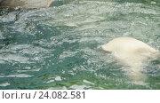 Купить «Polar bear swims and dives», видеоролик № 24082581, снято 13 октября 2016 г. (c) Игорь Жоров / Фотобанк Лори