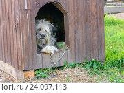 Купить «Грустная собака лежи в конуре на цепи», фото № 24097113, снято 11 августа 2016 г. (c) Pukhov K / Фотобанк Лори