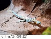 Каменная игуана Banded Rock Lizard. Стоковое фото, фотограф Галина Савина / Фотобанк Лори