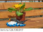 Купить «Примула обыкновенная (лат. Primula vulgaris) на деревянной скамейке, подготовка к пересадке в открытый грунт», эксклюзивное фото № 24130017, снято 1 мая 2016 г. (c) Елена Коромыслова / Фотобанк Лори