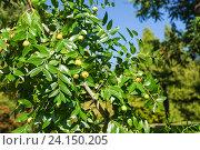 Купить «Ветка унаби с плодами (лат. Ziziphus jujuba)», фото № 24150205, снято 8 октября 2016 г. (c) Наталья Гармашева / Фотобанк Лори