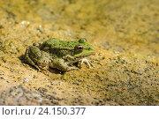 Купить «Зеленая лягушка прудовая (lat.  Pelophylax lessonae) на желтом песке», фото № 24150377, снято 19 сентября 2012 г. (c) Наталья Гармашева / Фотобанк Лори