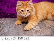 Купить «Красивый рыжий котенок», фото № 24150593, снято 5 ноября 2016 г. (c) Наталья Быстрая / Фотобанк Лори