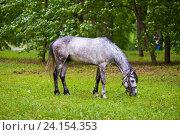 Купить «Лошадь, пасущаяся на поле», эксклюзивное фото № 24154353, снято 18 июня 2016 г. (c) Литвяк Игорь / Фотобанк Лори
