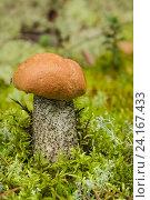 Купить «Подосиновик (Leccinum Aurantiacum) с оранжевой шляпкой», фото № 24167433, снято 20 августа 2016 г. (c) Александр Романов / Фотобанк Лори