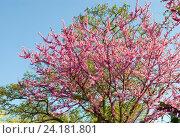 Купить «Крым, Иудино дерево, Багрянник европейский», фото № 24181801, снято 1 мая 2016 г. (c) Татьяна Юни / Фотобанк Лори