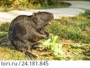 Купить «Нутрия, или коипу, или болотный бобр (лат. Myocastor coypus) — млекопитающее отряда грызунов, единственный вид семейства нутриевых (Myocastoridae).», фото № 24181845, снято 18 сентября 2012 г. (c) Наталья Гармашева / Фотобанк Лори