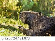 Купить «Нутрия, или коипу, или болотный бобр (лат. Myocastor coypus) — млекопитающее отряда грызунов. Крупный план», фото № 24181873, снято 18 сентября 2012 г. (c) Наталья Гармашева / Фотобанк Лори