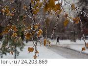 Купить «Обледеневшие ветки дерева в зимнем парке после ледяного дождя в городе Москве, Россия», фото № 24203869, снято 11 ноября 2016 г. (c) Николай Винокуров / Фотобанк Лори