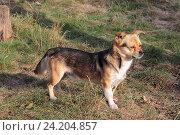 Купить «Маленькая собака стоит на пожухшей траве», эксклюзивное фото № 24204857, снято 16 сентября 2016 г. (c) Ирина Водяник / Фотобанк Лори