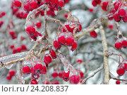 Купить «Обледенелые ветви и ягоды боярышника после ледяного дождя», эксклюзивное фото № 24208837, снято 11 ноября 2016 г. (c) Елена Коромыслова / Фотобанк Лори