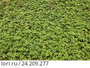 Кустики зелёные. Стоковое фото, фотограф Андрей Гривцов / Фотобанк Лори