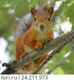 Купить «Рыжая белка на дереве», эксклюзивное фото № 24211973, снято 13 июля 2016 г. (c) Александр Алексеев / Фотобанк Лори