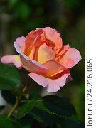 Купить «Роза чайно-гибридная Эль (лат. Elle)», эксклюзивное фото № 24216065, снято 17 июля 2015 г. (c) lana1501 / Фотобанк Лори