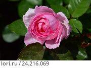 Роза чайно-гибридная Мам ин э Миллион (лат. Mum in a Million) Стоковое фото, фотограф lana1501 / Фотобанк Лори