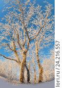Купить «Красивые заснеженные деревья», фото № 24216557, снято 3 декабря 2014 г. (c) Анна Костенко / Фотобанк Лори